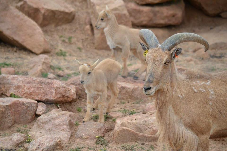 Baby Barbary Sheep at Altina
