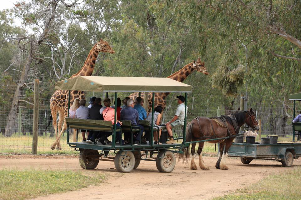 For those who have not been to Altina this is our famous horse drawn cart tours - as you can see the animals come nice and close to say hi to all their visitors.'