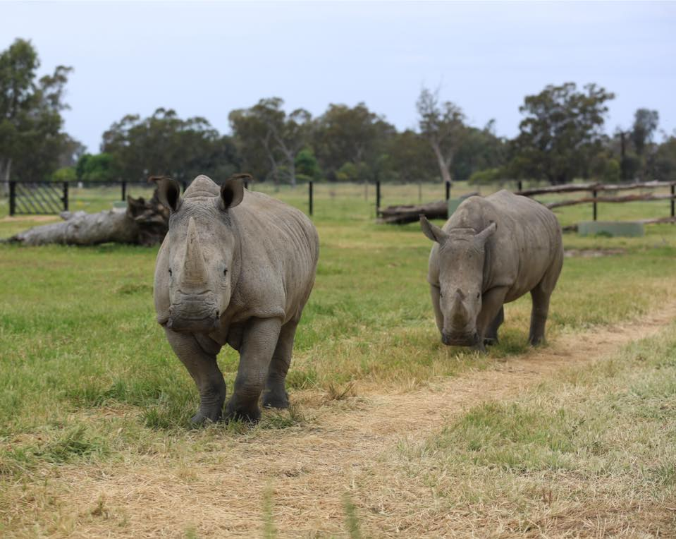 'Introducing our 2 female rhinos'