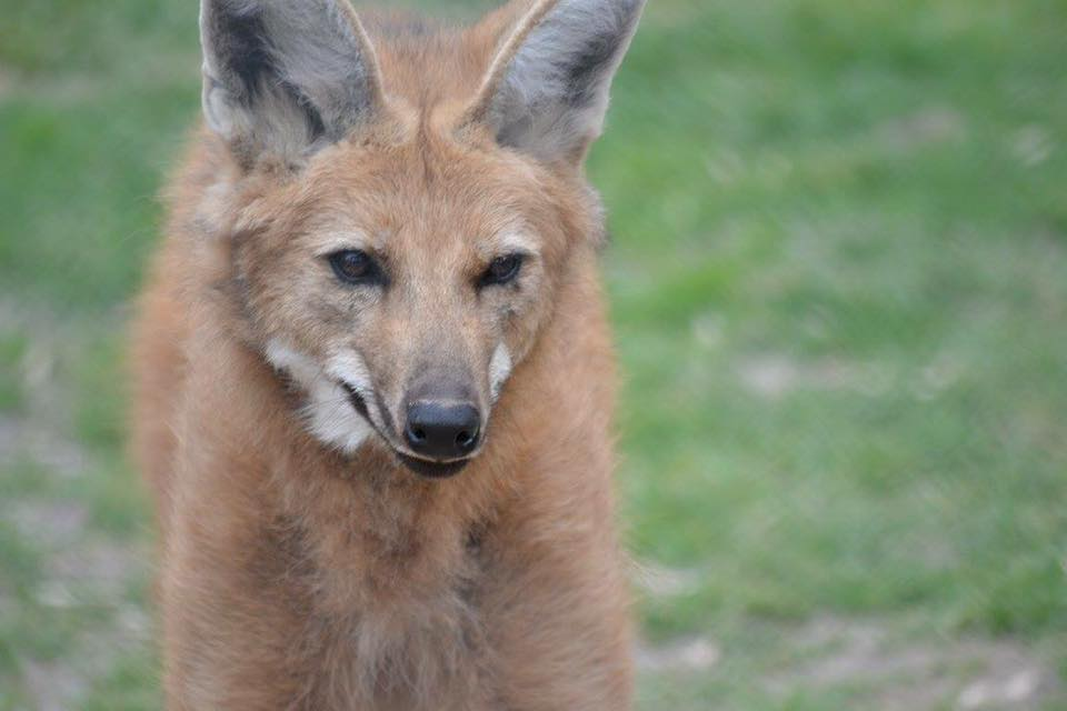 'Maned Wolf;