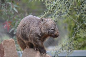 'Wilfred Wombat smiling for the camera'